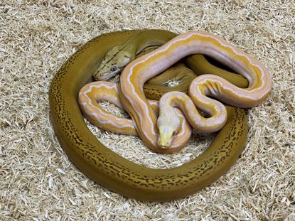 Picture of Mochino Motley Goldenchild Maker Pair